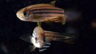 The Royal Society - Zebra Fish - © Ray Crundwell, QMUL