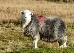 Masham Sheep Fair 2018 - Contrary Life - Yorkshire Dales events