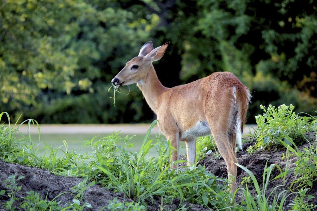 Deer - Canal & River Trust